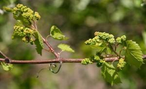 New life on the grapevine photo by JollyPhoto/Shutterstock.