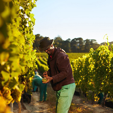 Workers harvesting grapes from rows of vines in a vineyard.