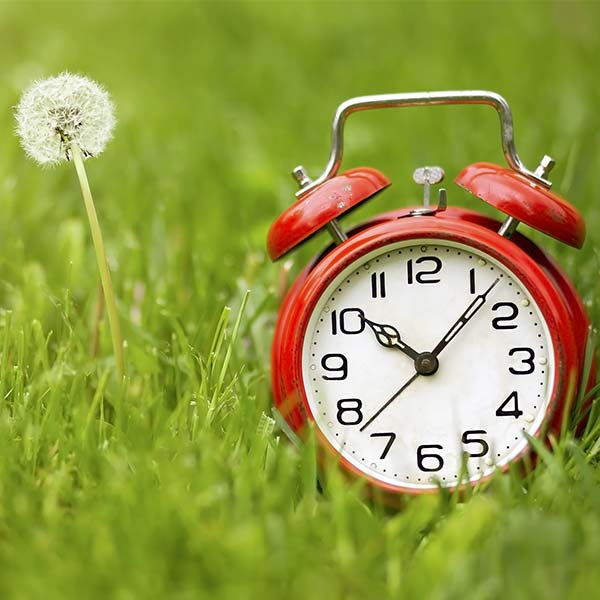 Alarm clock in grass with dandelion